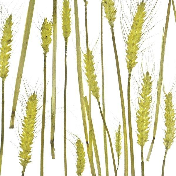 organic material resin panel Wheat